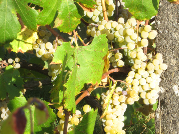 white-wine-grapes-580