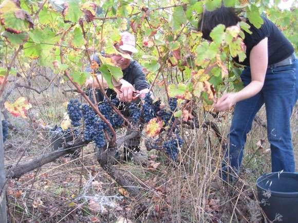 wine-harvest-580